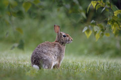 Backyard rabbit Stock Images