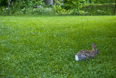 Backyard Rabbit Royalty Free Stock Photography