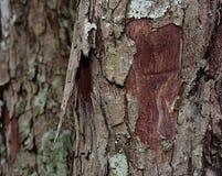Bark looks beautiful royalty free stock photo