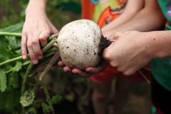 Backyard vegetable garden:turnip Stock Image