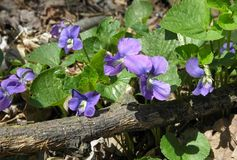 Backyard Violets 1. Violets blooming in outdoor garden Royalty Free Stock Photo