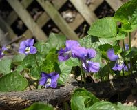 Backyard Violets 2. Violets blooming in rustic outdoor garden Royalty Free Stock Photography