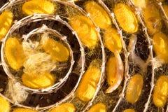 Baco da seta in bozzolo giallo, ciclo di vita del baco da seta Fotografia Stock Libera da Diritti