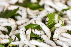 Baco da seta che mangia la foglia verde del gelso Immagine Stock