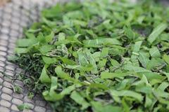 Baco da seta che mangia la foglia verde del gelso Immagine Stock Libera da Diritti