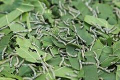 Baco da seta che mangia la foglia verde del gelso Immagini Stock Libere da Diritti