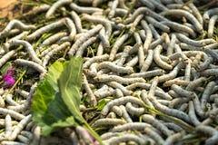 Baco da seta che mangia la foglia verde del gelso, primo piano Fotografie Stock
