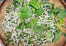 Baco da seta che mangia la foglia verde del gelso, primo piano Immagine Stock