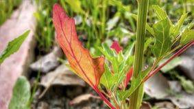 Bacon weed, Dirtweed Chenopodium album Amaranthaceae royalty free stock photo