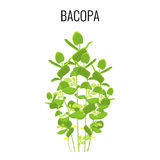 Bacopa ayurvedic aquatic plant  on white background. Royalty Free Stock Photography