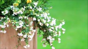 Bacopa de las flores blancas en plantador