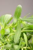 Bacopa monnieri叶子,苦涩叶子,照片的关闭 库存图片