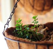 Bacopa plant in basket. Bacopa monnieri plant growing in hanging basket brahmi herb herbal plant growth stock image