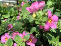 Great regal pink beauty plant. Bacopa plant flowering in summer royalty free stock images