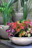 Bacs de jardin avec des usines de coleus images libres de droits