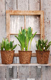 Bacs de tulipe dans l'hublot Photographie stock
