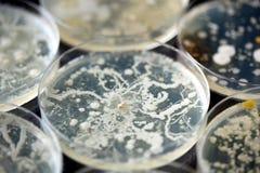Bactérias que crescem em pratos de petri fotos de stock royalty free