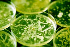 Bactérias que crescem em pratos de petri imagens de stock royalty free
