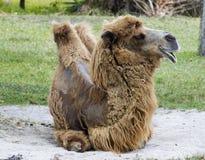 Bactarian骆驼休息 库存图片