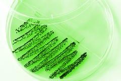 Bacteriële cultuur royalty-vrije stock afbeeldingen