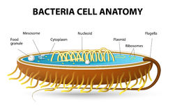 Bacteria cell anatomy Stock Image