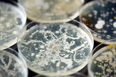 Bacteria growing in a petri dishes. Lots of bacteria growing in a petri dishes Royalty Free Stock Photos