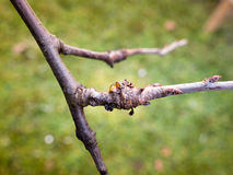Bacterial canker on plum tree. Photo shows gummosis a bacterial canker causes fruit tree decline Royalty Free Stock Images