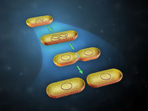 Bacterial cell division royalty free illustration