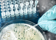 Bacterial colonies on agar plate. Bacterial colonies for cloning of transgenic  into plasmid DNA Stock Photo