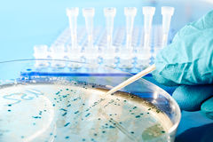 Picking up bacterial colonies from agar plate. Bacterial colony picking for DNA cloning royalty free stock photo