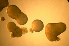 Bacterial growth. Microscope view of bacterial growth stock photos