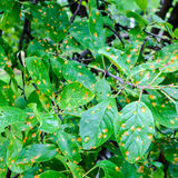 Bacterial Leaf Spot Plum tree Stock Photography