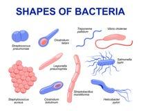 Bacterias comunes que infectan al ser humano Foto de archivo