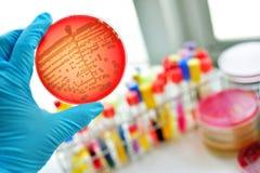 Bacteriëncultuur Royalty-vrije Stock Foto's