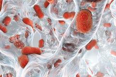 Bacterium Acinetobacter baumannii inside biofilm Stock Image