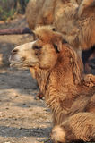 Bactrain camel Stock Images