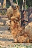 Bactrain camel Royalty Free Stock Photos
