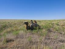 Bactrian верблюды Стоковое Изображение RF