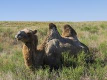 Bactrian верблюды Стоковое Изображение