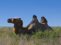 Bactrian верблюды Стоковые Изображения