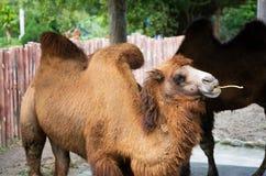 Bactrian верблюд или bactrianus Camelus с 2 горбами Стоковая Фотография RF