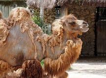 Bactrian верблюд или bactrianus Camelus Стоковые Изображения