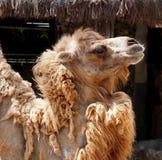 Bactrian верблюд или bactrianus Camelus Стоковое Изображение