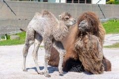Bactrian верблюд и младенец в солнечности Стоковые Изображения