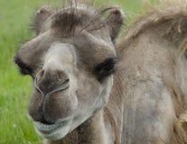 Bactrian верблюд на парке сафари Knowsley, Ливерпуле Стоковое Изображение RF
