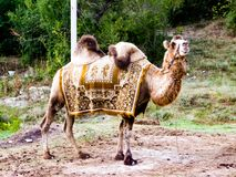 Bactrian верблюд под протекцией Стоковые Изображения