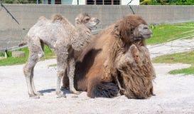 Bactrian верблюд с ее младенцем Стоковые Изображения