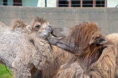 Bactrian верблюд с ее младенцем Стоковое Изображение