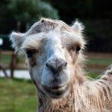 Bactrian верблюд (bactrianus camelus) Стоковые Изображения RF
