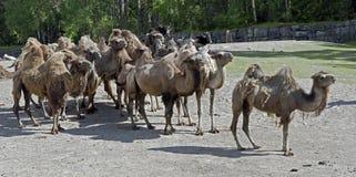 bactrian верблюд Стоковое Изображение RF